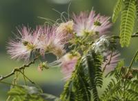 庭院设计里合欢花怎样上肥?