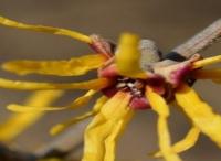 庭院设计里金缕梅什么时候开花